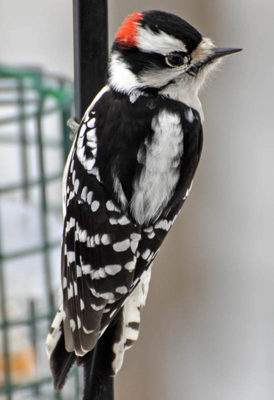 Downy Woodpecker Drumming Downy Woodpecker Picoides