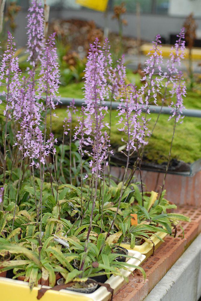 Orchidaceae Stenoglottis longifolia