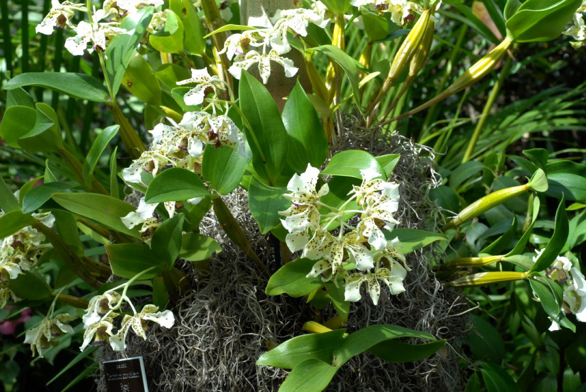 http://www.plantsystematics.org/users/dws/4_3_08_6/DendrobiumAtroviolaceum/Dendrobium_atroviolaceum.JPG