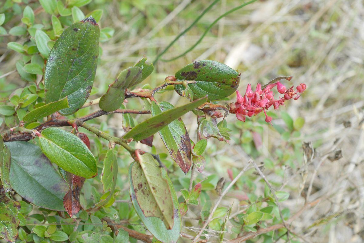Pernettya Prostrata.Pernettya Prostrata Ericaceae Image 28032 At Plantsystematics Org