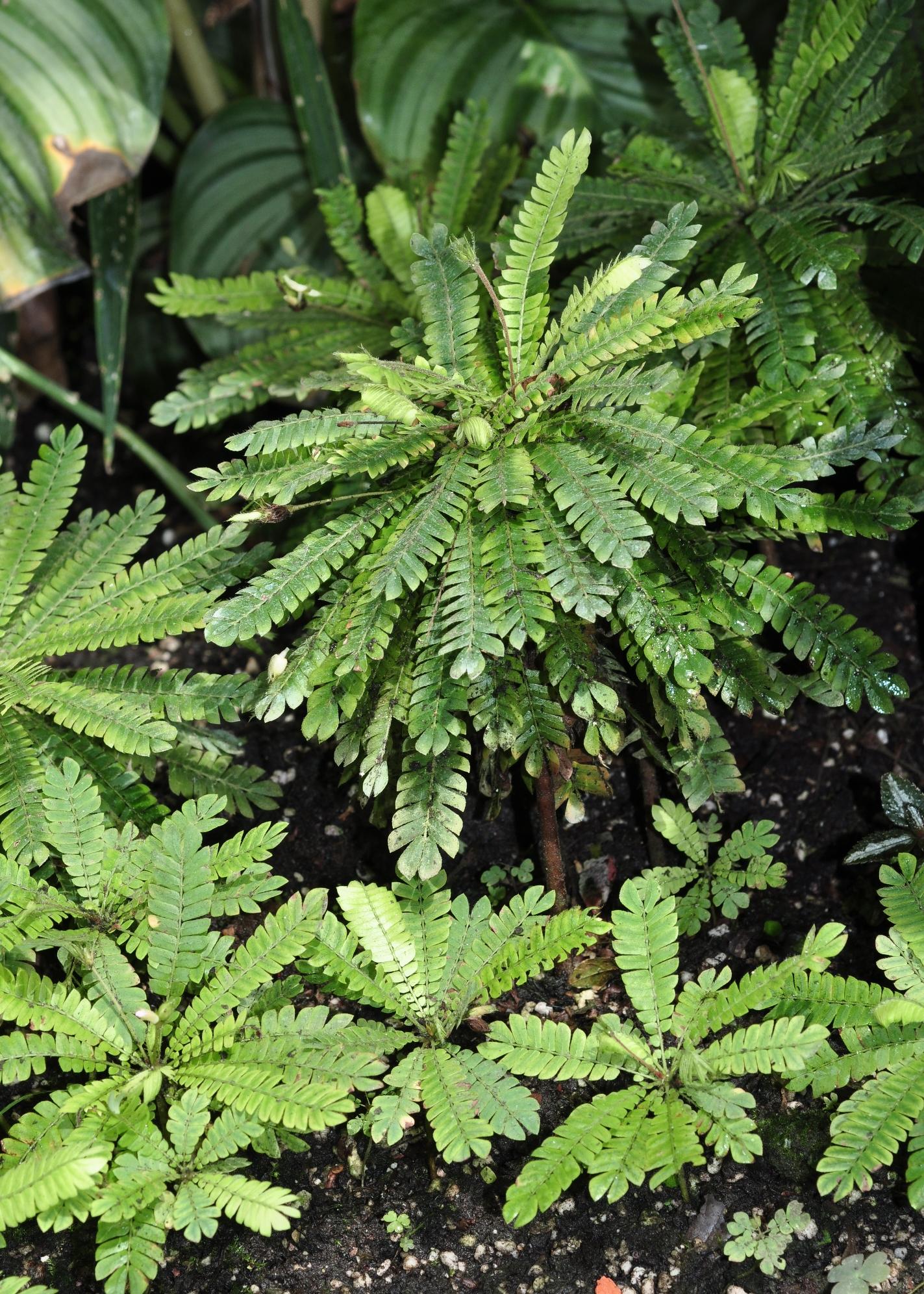 Biophytum dendroides (Oxalidaceae) image 38348 at
