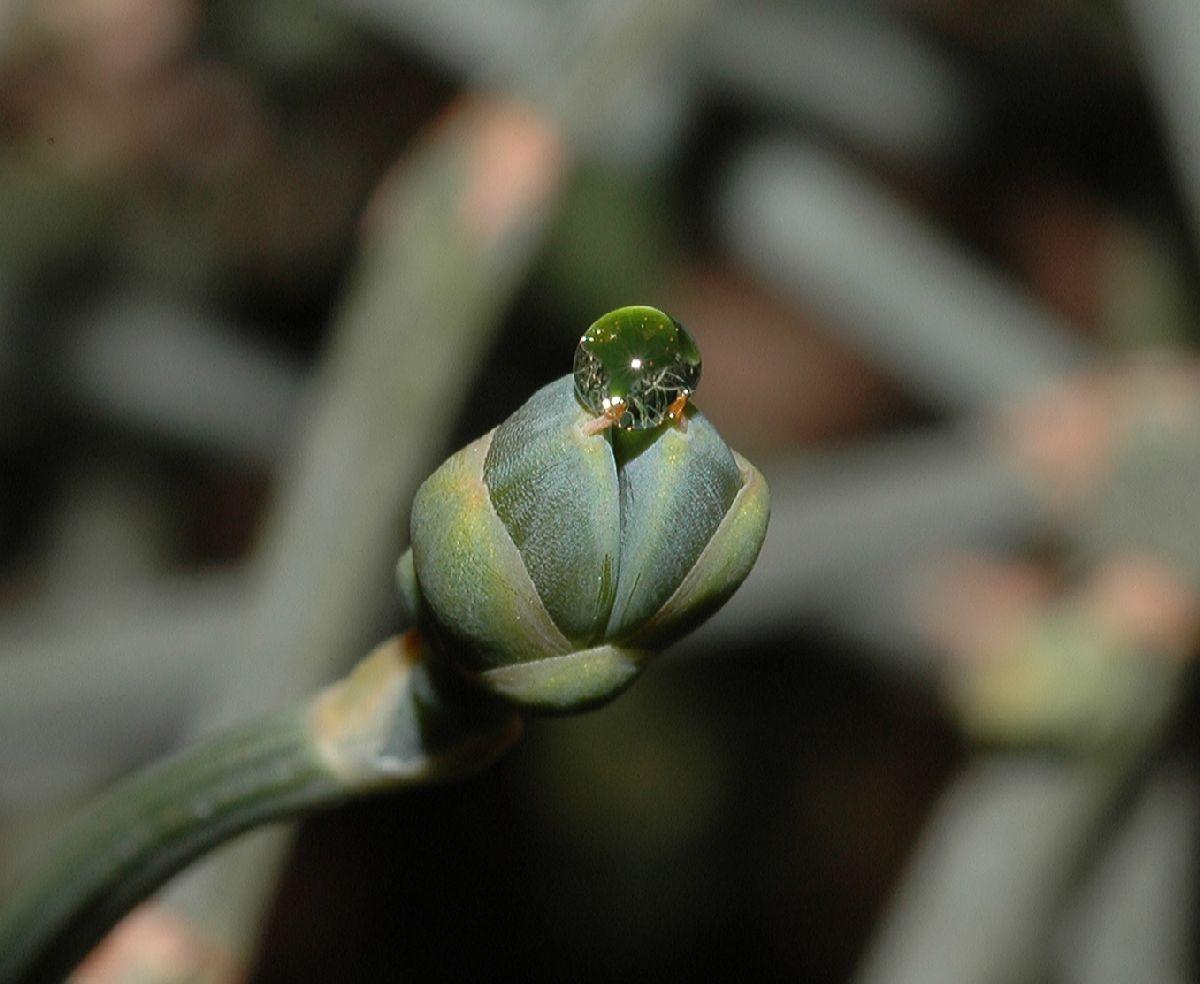 Ephedra sinica (Ephedraceae) image 17896 at PlantSystematics org