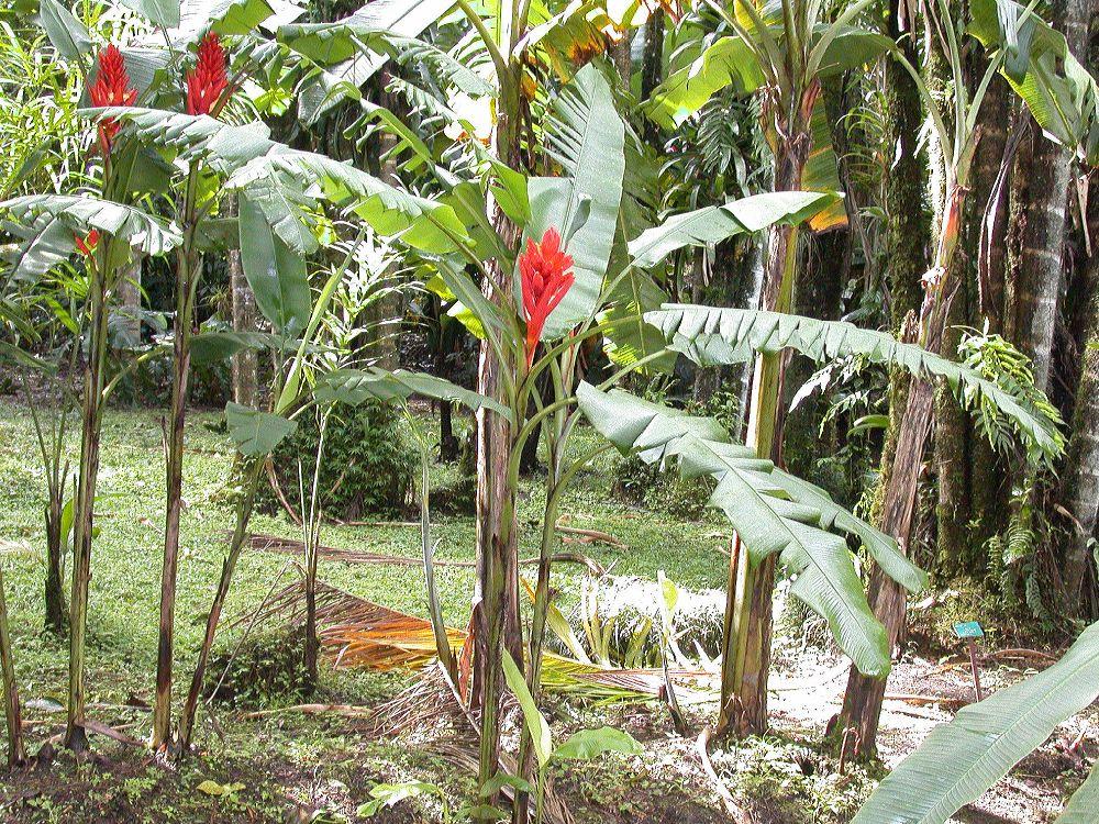 Musaceae Musa coccinea