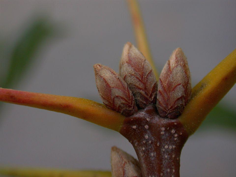 Quercus Velutina Buds Fagaceae Quercus velutina