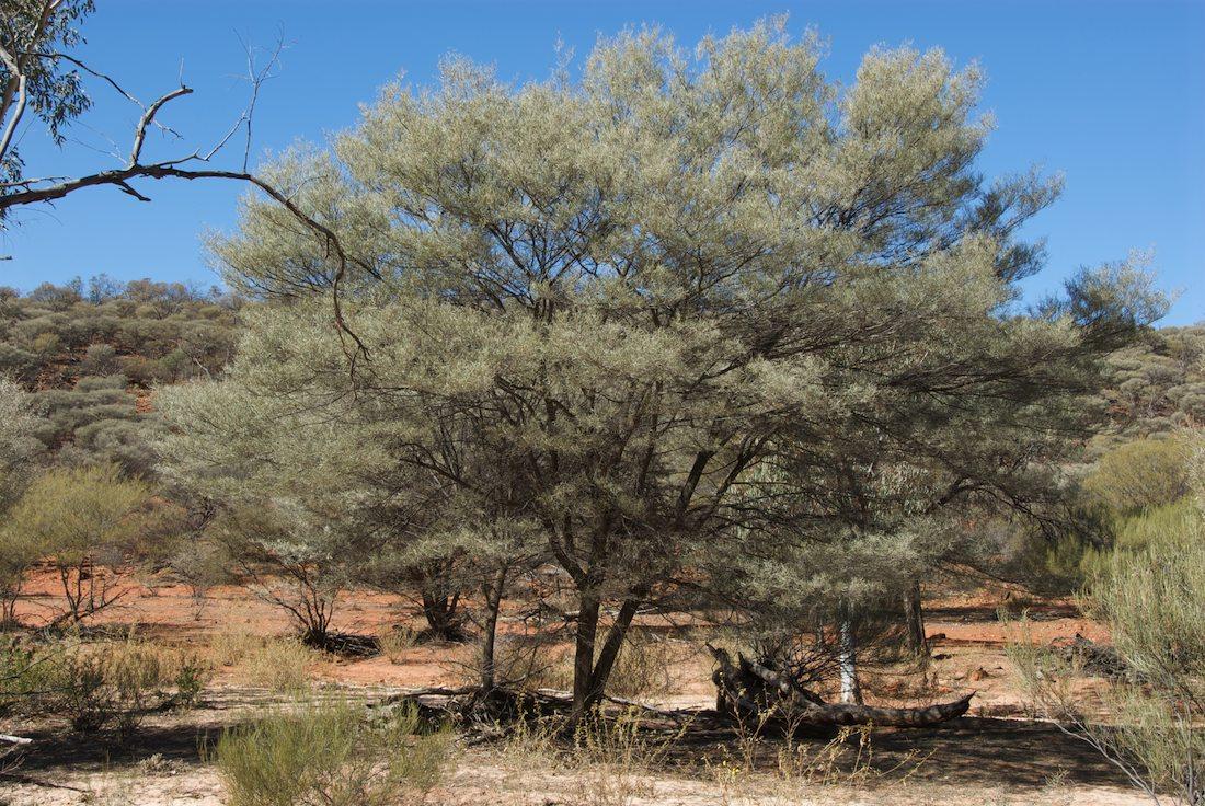 Acacia Aneura Fabaceae Image 35604 At Plantsystematicsorg