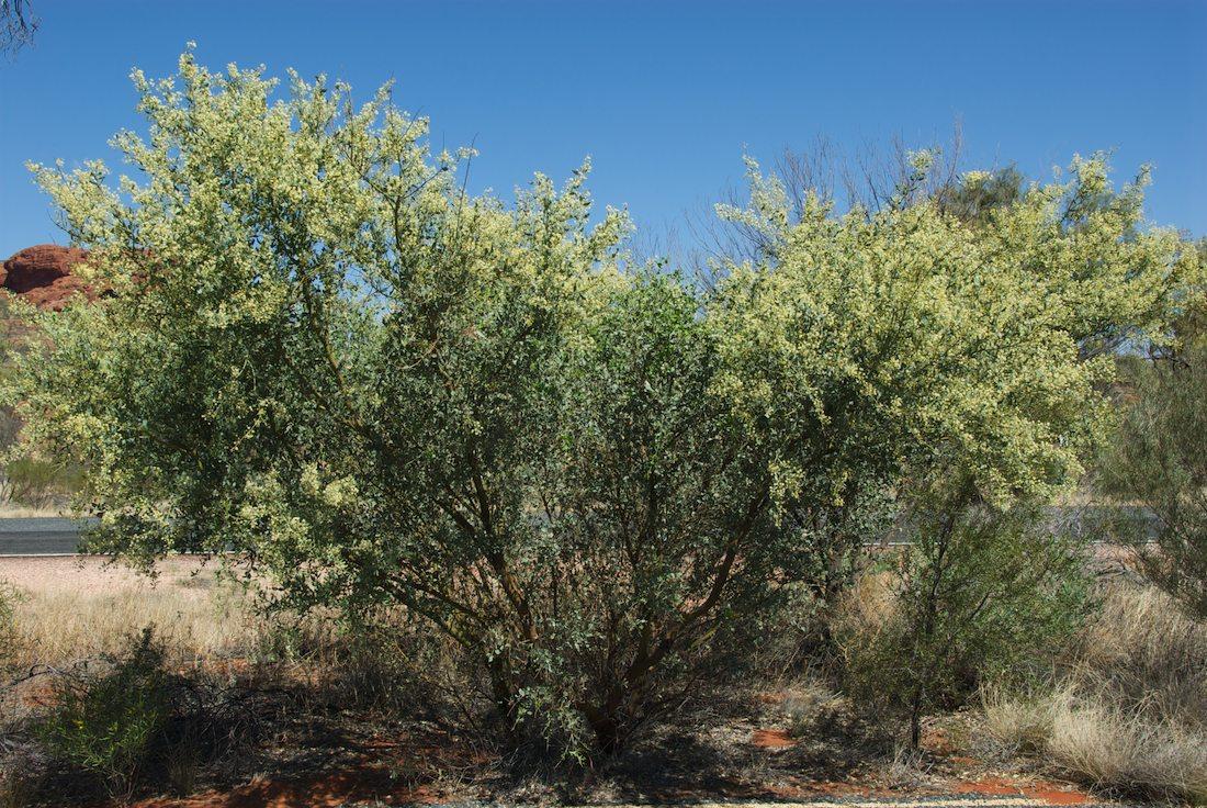 Fabaceae Acacia victoriae