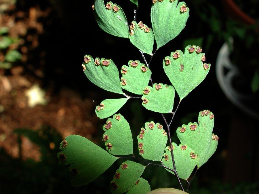 Adiantum capillus-veneris (Pteridaceae) image 5999 at PlantSystematics ...